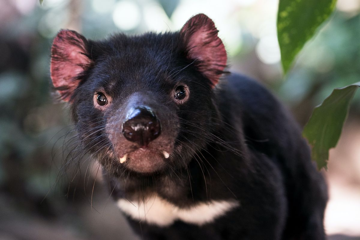 Tasmanian devil returns to mainland Australia