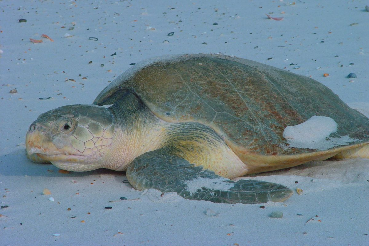 Scientists use false turtle eggs to track illegal egg trade