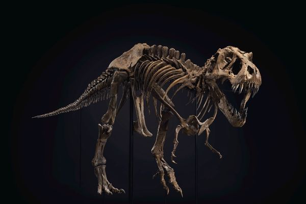 Tyrannosaurus rex skeleton to be auctioned