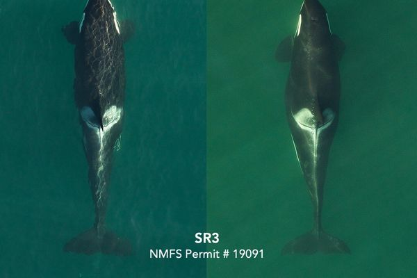 The picture panel above shows her shape change between September 2019, when she was several months into pregnancy, and recently in July 2020 when her increased width at mid body clearly indicates she is in the late stages of pregnancy. Pregnancy in killer whales typically lasts 17-18 months. Photos by SR3 and NOAA's Southwest Fisheries Science Center in 2019 and SR3 and SEA in 2020, collected under NMFS research permit 19091.