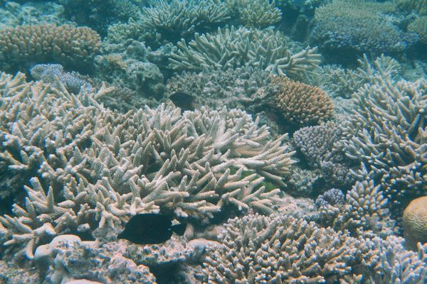 Research suggests Great Barrier Reef has lost 50% of its corals within three decades