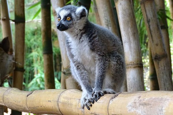Ring-tailed lemur missing, possibly stolen, from San Francisco Zoo