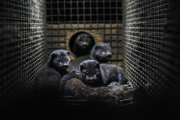 Following fears of a mutated Covid-19 version, Denmark announces cull of 15 million mink
