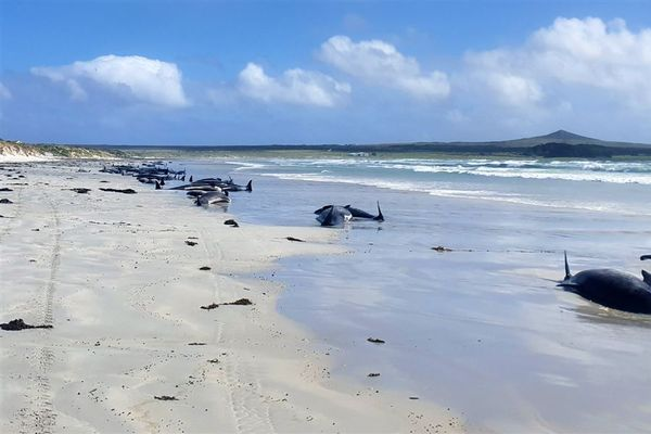Mass stranding off New Zealand coast kills 100 pilot whales and bottlenose dolphins
