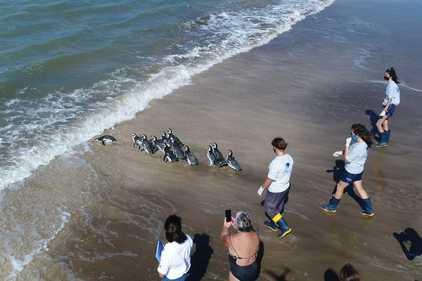 12 endangered Magellanic penguins return to sea after researchers nurse them back to health