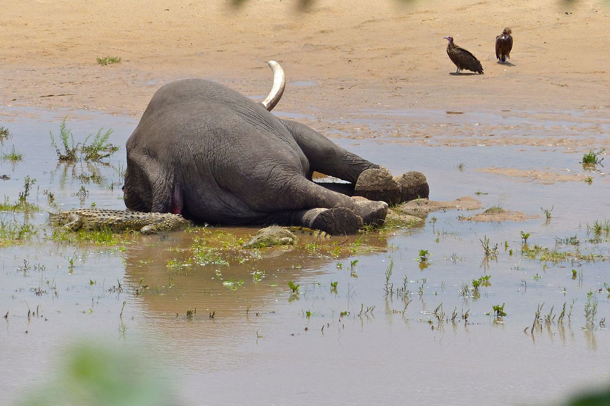 Botswana: Mystery death of elephants solved