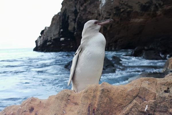 Galapagos now has another inhabitant: a white penguin