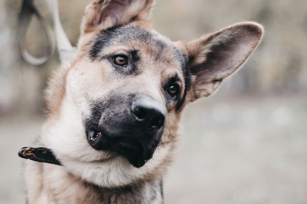 Dogs taught to recognize smell of Covid-19 infections