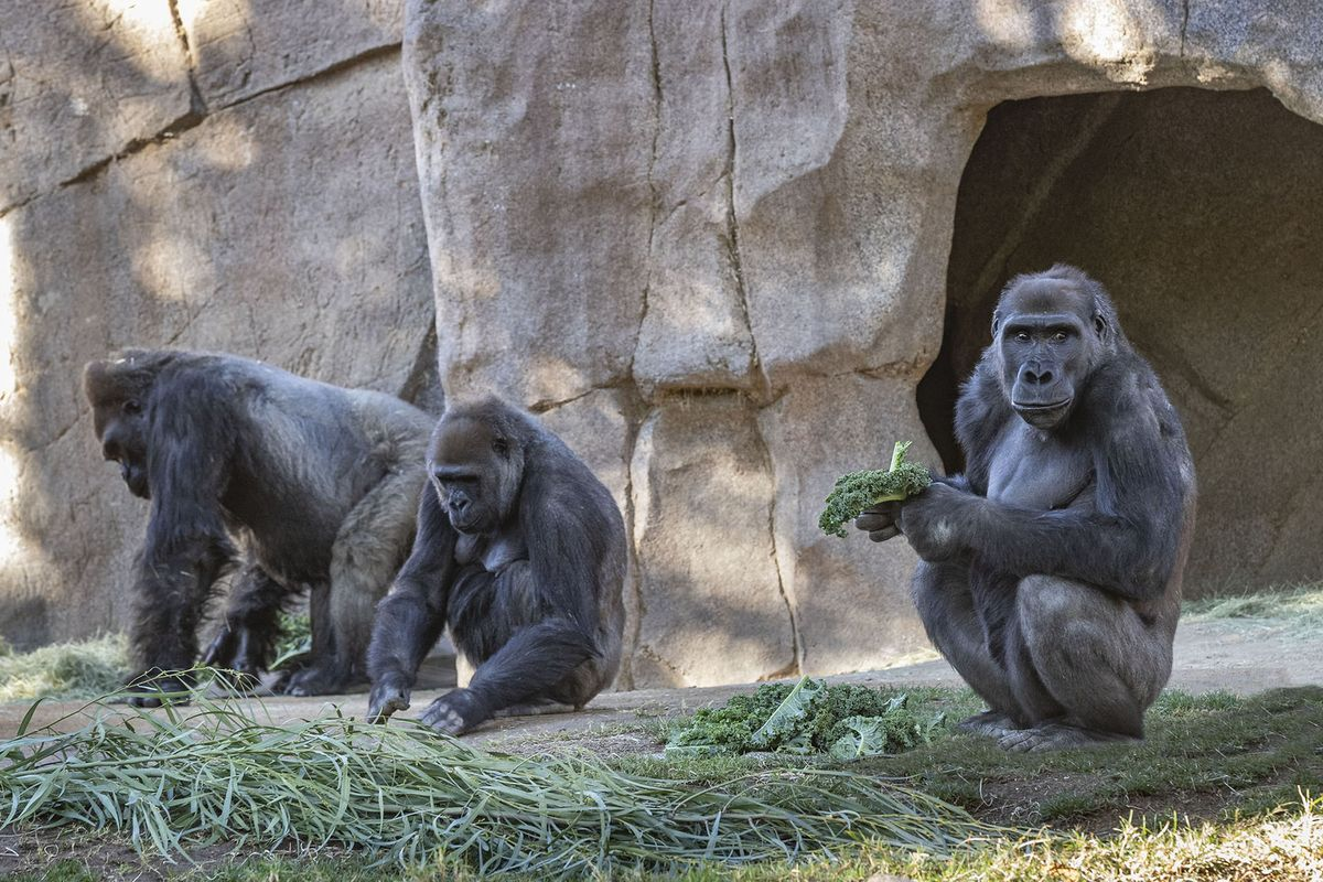 Gorillas at Californian Zoo have tested positive for Covid-19