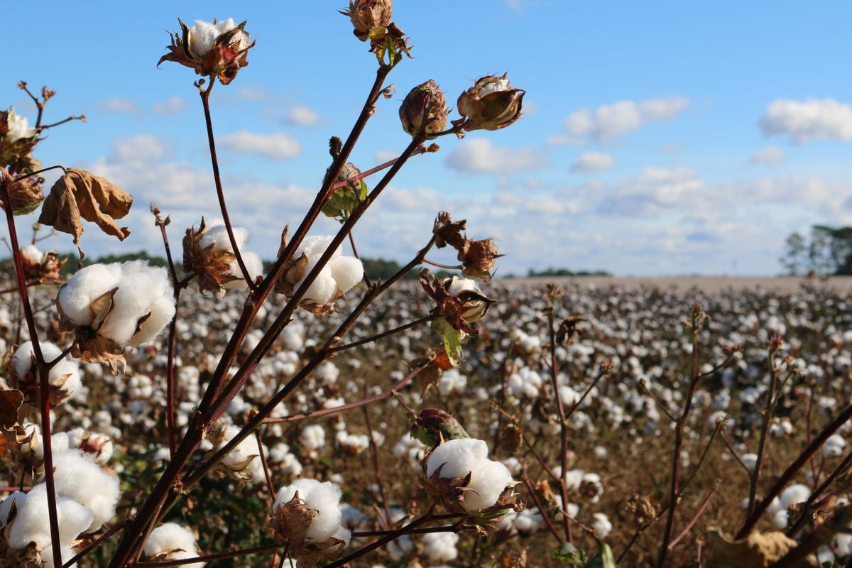 Report: Hundreds of Thousands of Uyghurs Forcibly Used in Cotton Harvesting