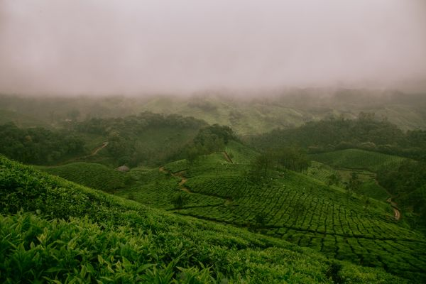 Farm Fields of Munnar, India