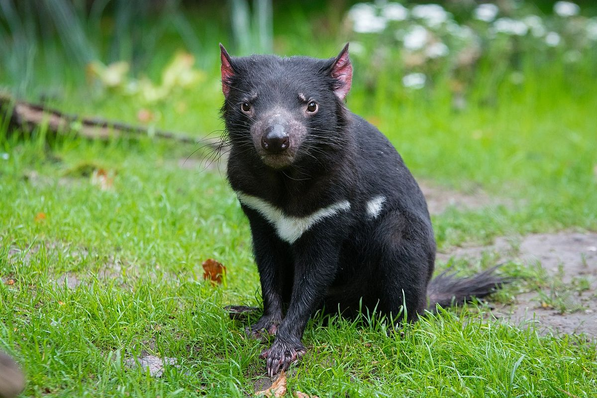 Tasmanian devils are reintroduced to Australia after 3,000-year-absence