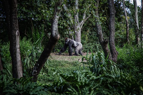 Rafiki, a silverback gorilla, Bwindi Impenetrable National Park in South Western Uganda was killed in a poaching incident recently