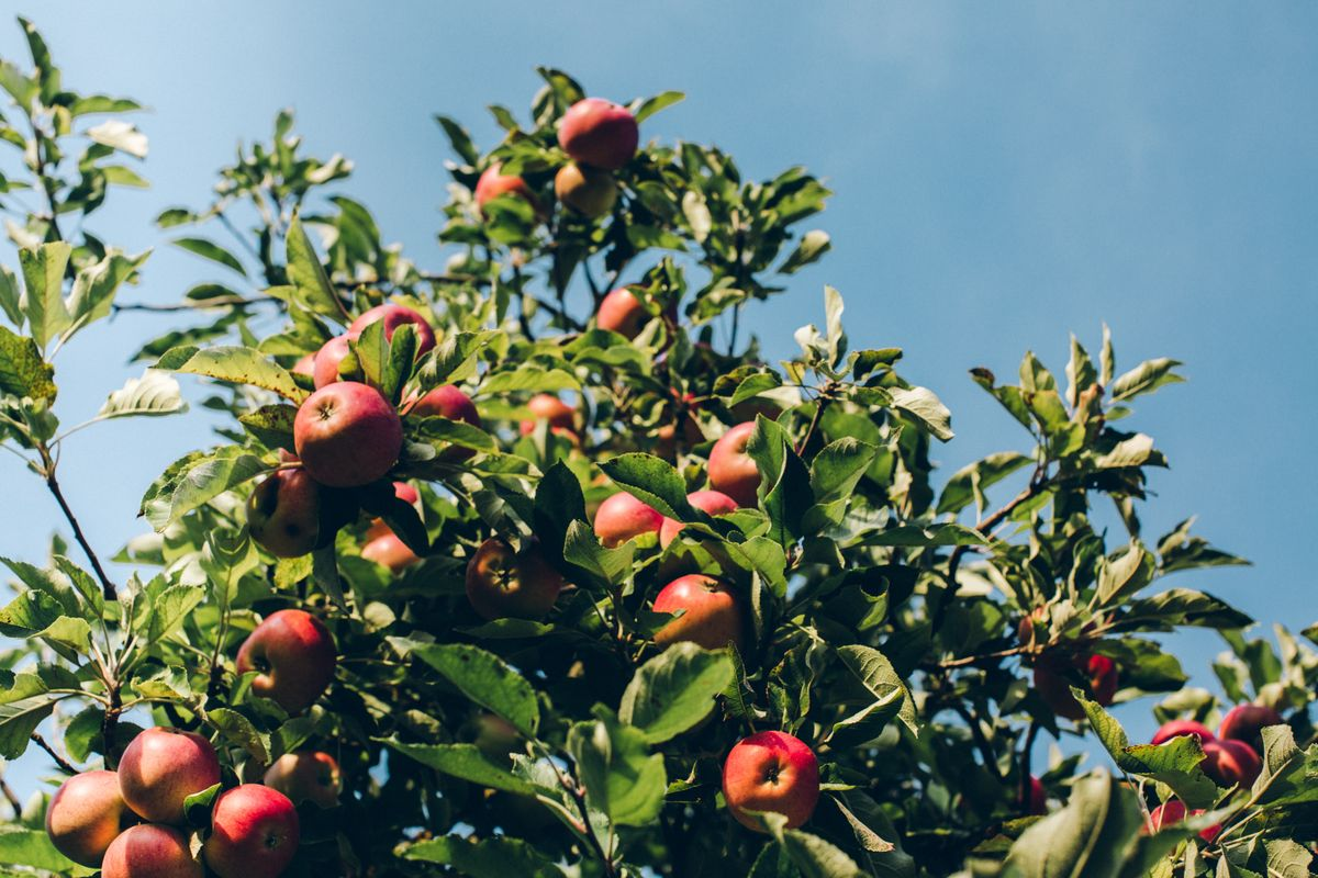 10 apple varieties thought to be extinct rediscovered